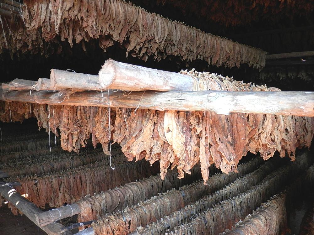 ビニャーレス渓谷ツアー タバコ農園見学 干した葉