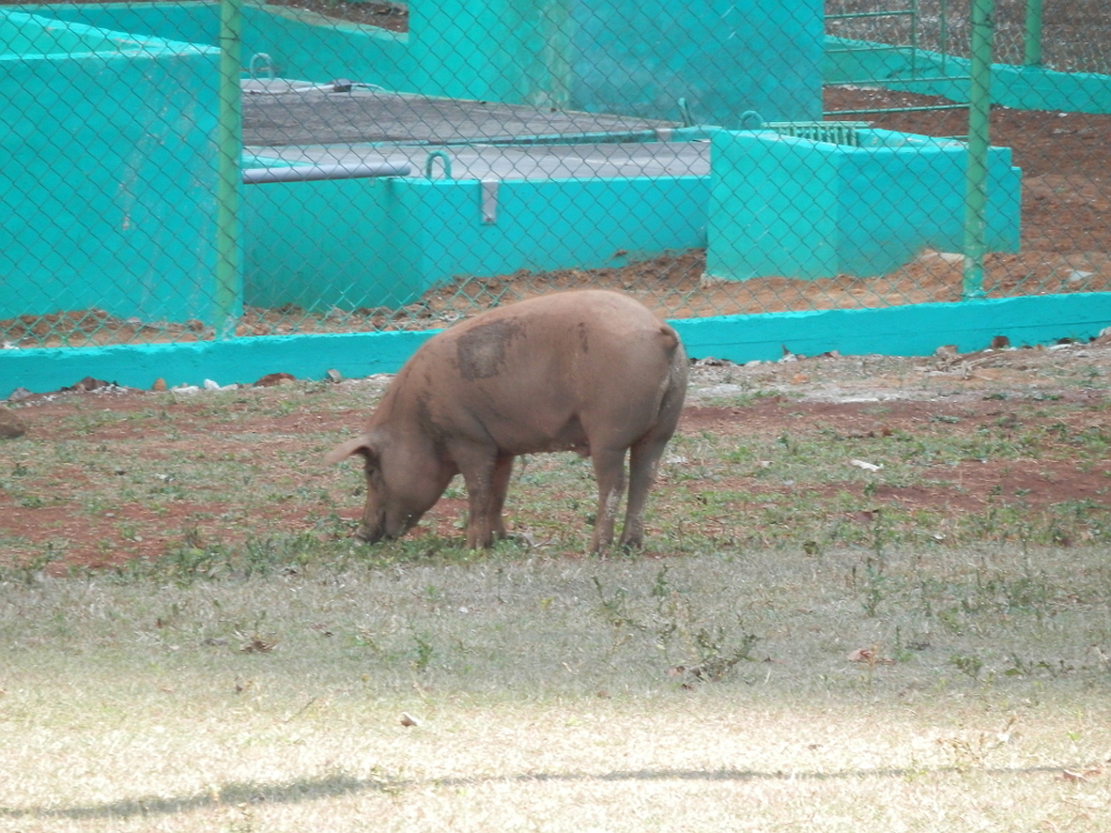 ビニャーレス渓谷ツアー プレイストリアの壁画 豚