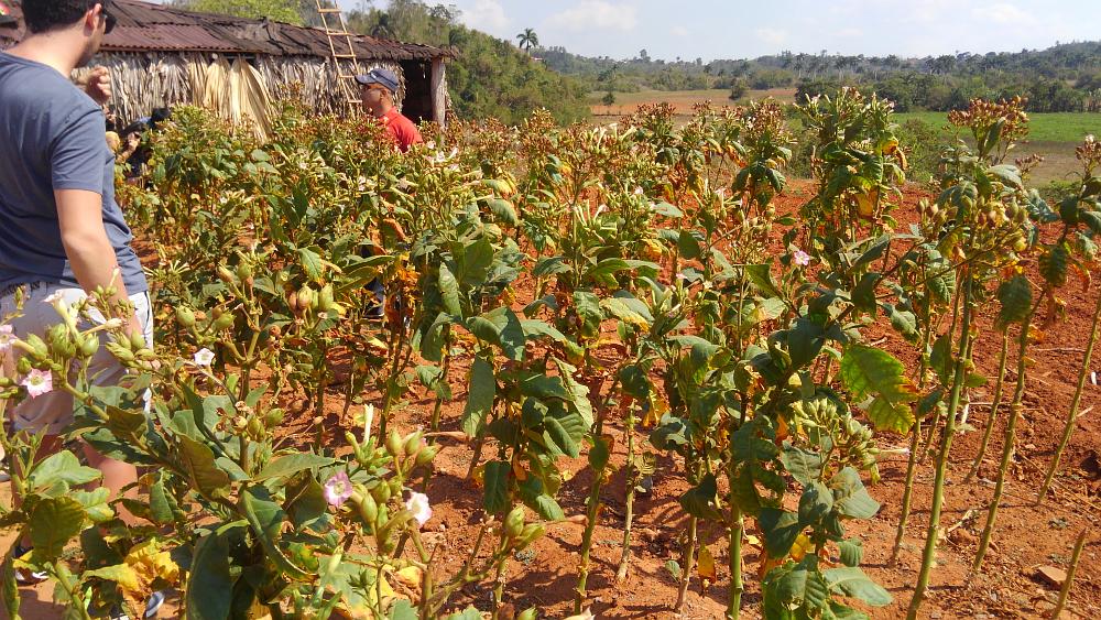 ビニャーレス渓谷ツアー タバコ農園見学