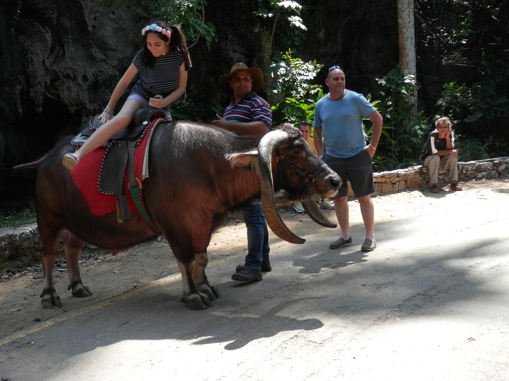 ビニャーレス渓谷ツアー自然の写真 水牛