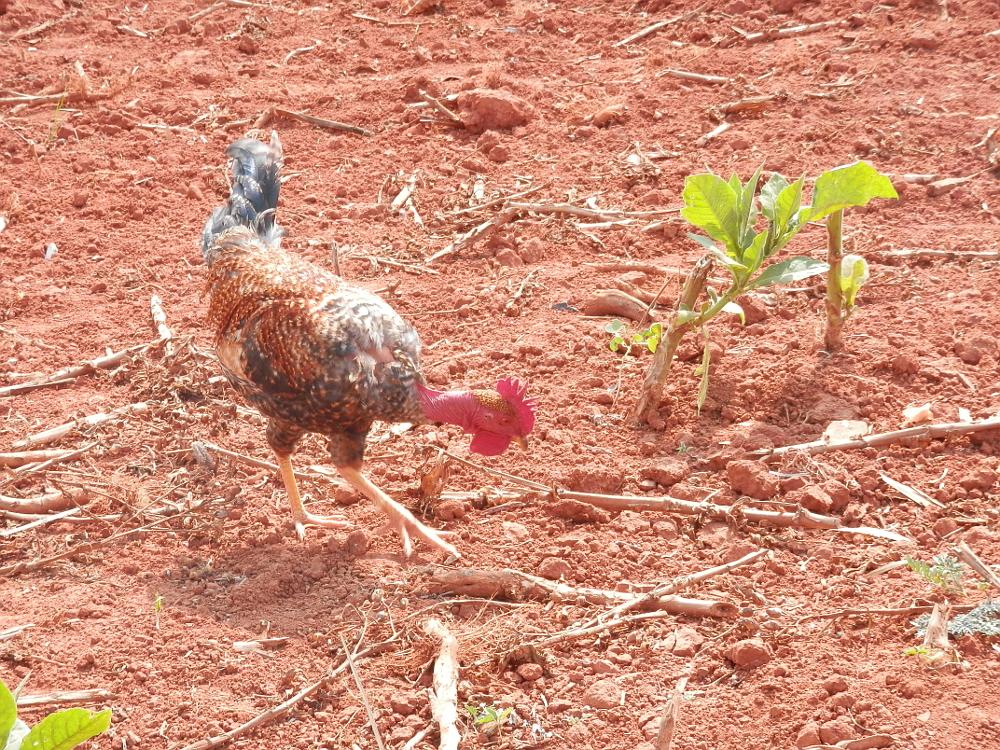 ビニャーレス渓谷ツアー タバコ農園のニワトリ