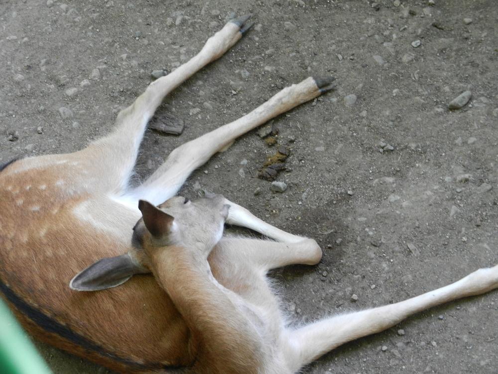 コクトベの鹿