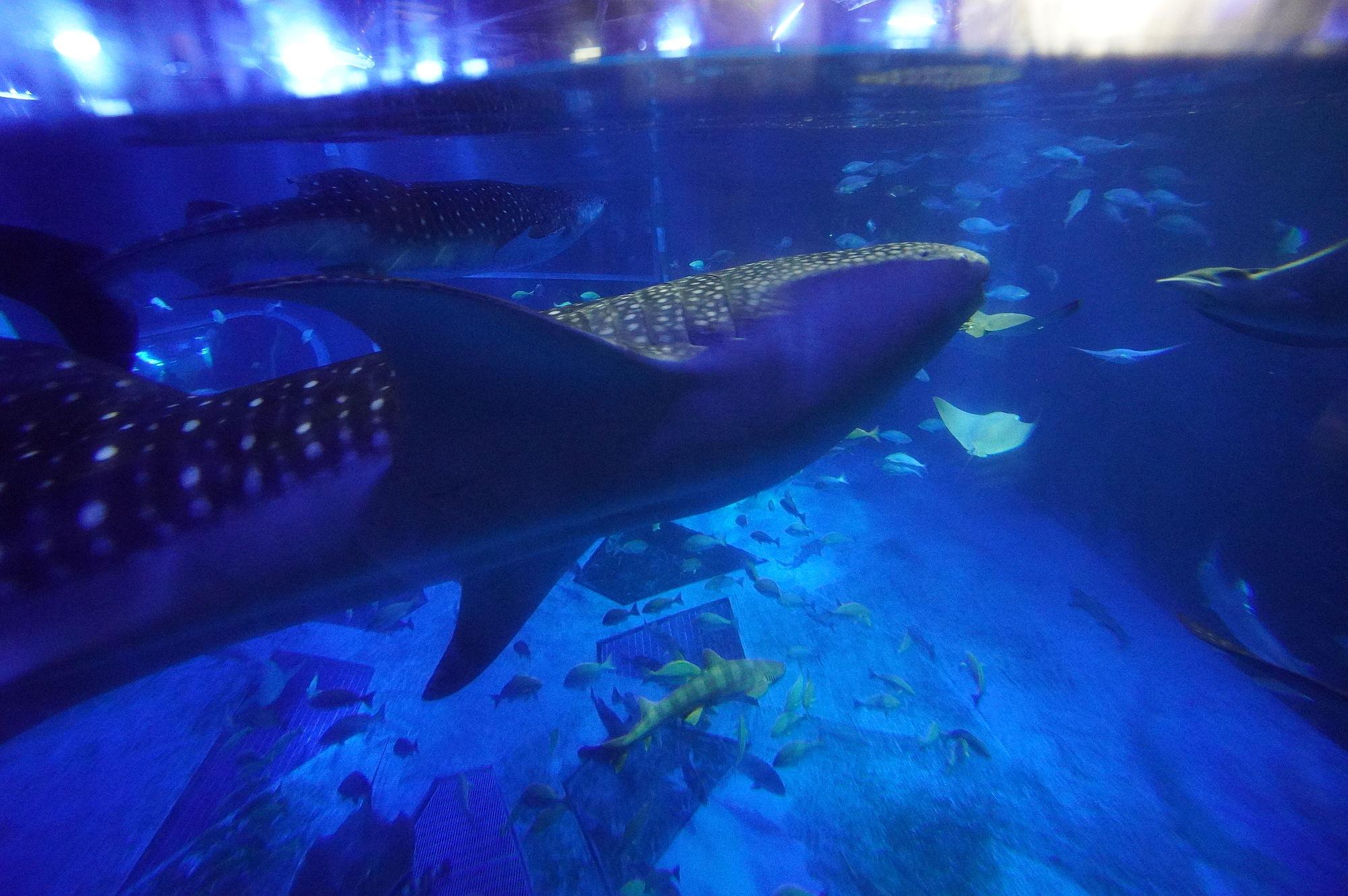 のとじま水族館「ジンベエザメ」